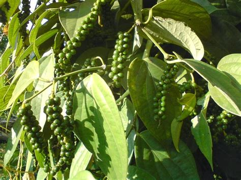 Black Pepper Tree Picture liliana usvat reforestation and medicinal use of the