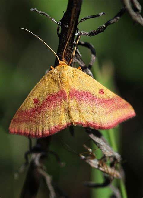 colorful moths colorful moths search butterflies moths