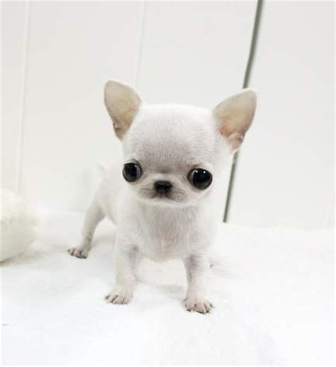 teacup applehead chihuahua puppies for sale apple teacup chihuahua quotes