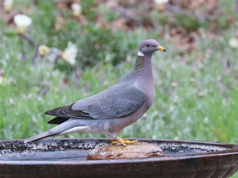 band tailed pigeon song call voice sound
