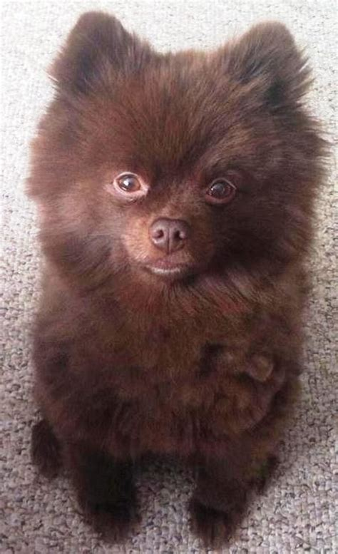 chocolate pomeranian puppy chocolate pomeranian puppy hairstylegalleries