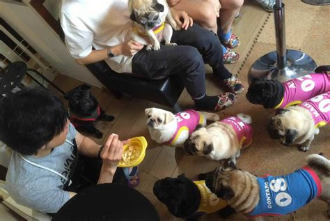 pug cafe japan pug cafe in kyoto quot living room quot