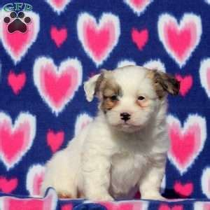 american eskimo puppies for sale in pa eskimo mix puppies for sale in de md ny nj philly dc and baltimore