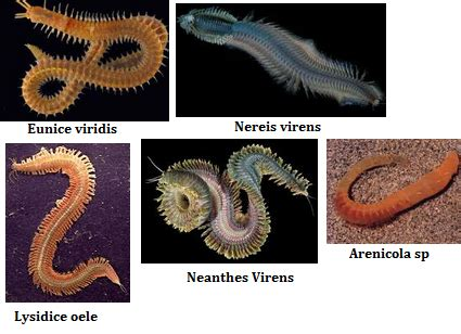 Cacing Pengertian pengertian annelida ciri ciri klasifikasi reproduksi