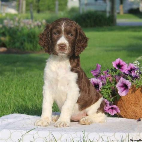springer spaniels for sale english springer spaniel puppies for sale greenfield puppies