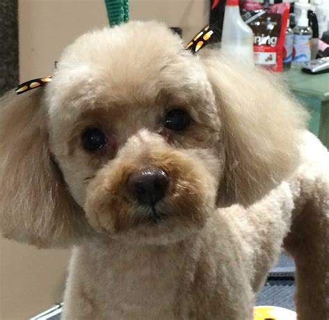 poodle cuts exles pictures of toy poodle haircuts alf img showing gt toy