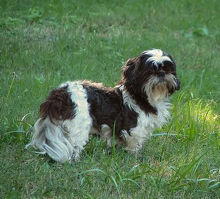 how much should my shih tzu weigh shih tzu breed info breeders and puppies for sale pawbase australia