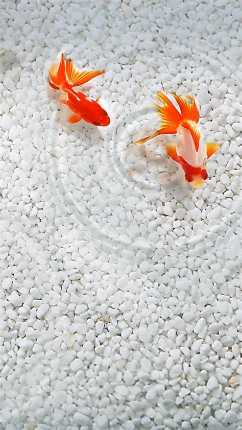 wallpaper iphone 6 japan goldfish japanese beautiful iphone wallpapers iphone