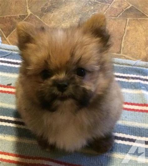 pomeranian shih tzu pups shih tzu pom mix puppies 10 weeks for sale in lyons nebraska classified