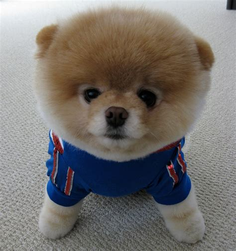 what are pomeranians known for 13 dogs you probably should about jolt24