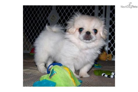 akc pekingese puppies for sale meet lyssa a pekingese puppy for sale for 775 akc lyssa sale pending for nishel