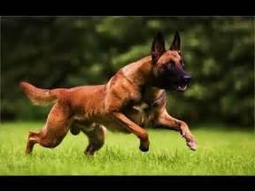 belgian shepherd working dogs belgian shepherd dog malinois dog breed youtube