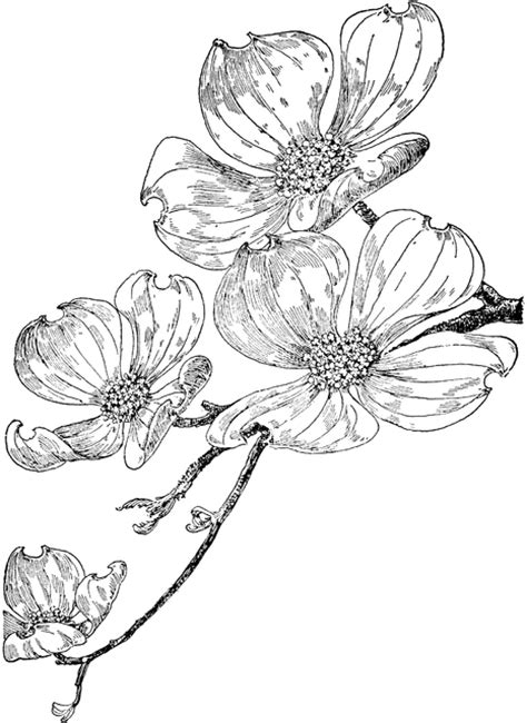 flowering dogwood clipart etc