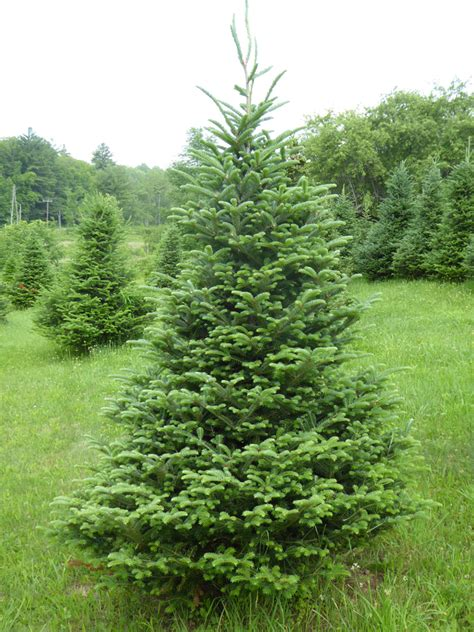 vermont pine xmas trees tree varieties kenburn orchards