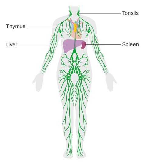 lymphatic drainage system diagram file diagram of the lymphatic system cruk 041 svg