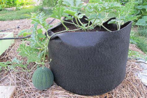 coltivare meloni in vaso coltivazione anguria coltivazione ortaggi