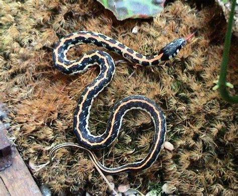 Garter Snake Green Black Eastern Black Neck Garter Snake Snakes