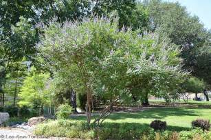 Tree Tx Vitex Tree Texas