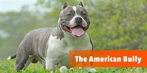 bully nation how the american establishment creates a bullying society books what is the american bully here is the bully breed 101