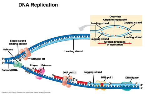 5 proteins in dna replication dna replication