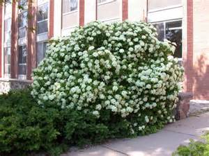 Low Growing Flowering Shrubs For Full Sun - native plants for michigan landscapes part 2 shrubs msu extension