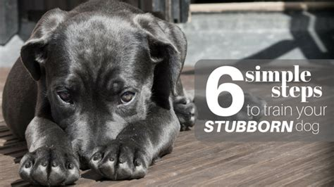 how to a stubborn puppy 6 simple steps to your stubborn barkblaster