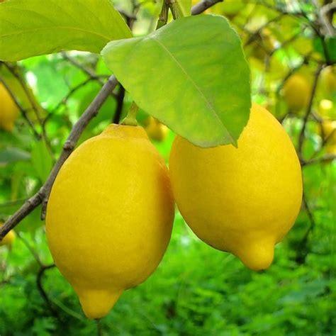 lisbon lemon citrus limon lisbon mm