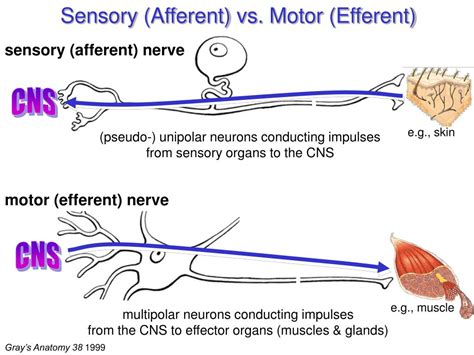 ppt peripheral nervous system 1 the somatic system