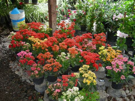 kalanchoe thrives in outdoor gardens real dirt the star