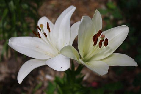 White Lilies white donna s garden