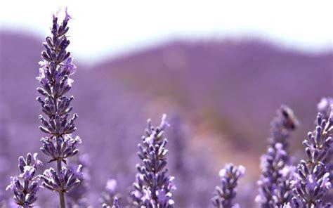 Wallpaper Flower Lavender | lavender flower wallpapers wallpaper cave