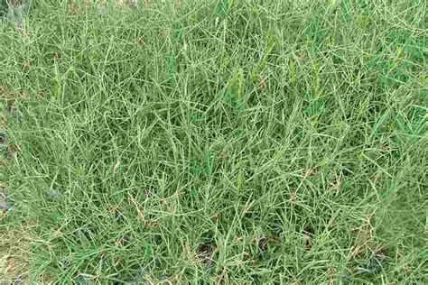 south african couch grass cynodon dactylon var dactylon