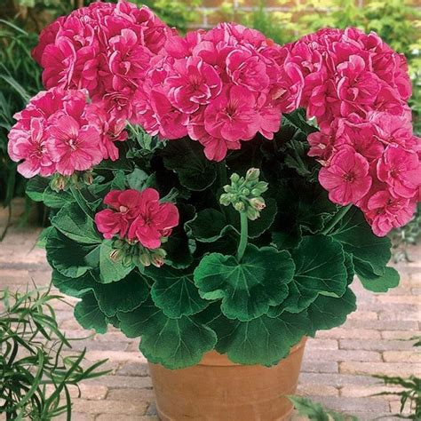 piante da terrazzo perenni piante fiorite da balcone piante da terrazzo