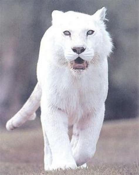 imagenes panteras blancas ranking de 161 161 161 grandes y peque 209 os felinos listas en