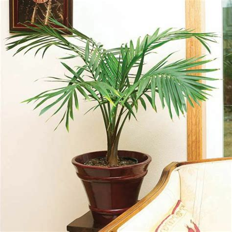 Interior Species by Potted Palm Images Which Are The Typical Palm Species