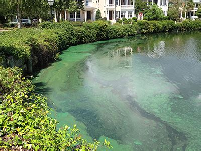 cyanobacteria understanding blue green algaes impact