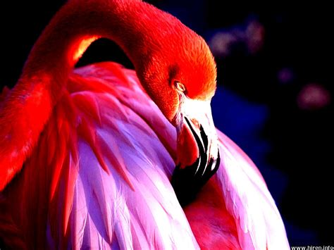 flamingo feathers wallpaper flamingo bird feathers pink animals hd wallpaper 1582907