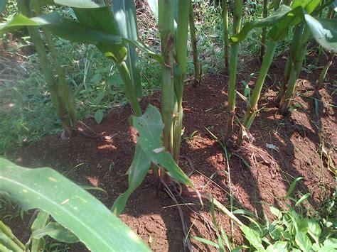 Jenis Benih Jagung Manis budidaya jagung teknologi organik mmc agrokompleks mmc