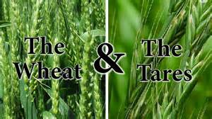 What the bible has to say about quot the wheat amp the tares quot youtube