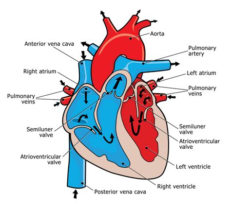 diagram of the and blood flow human blood flow diagram anatomy human