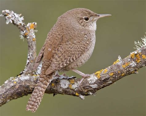 house wren using a wren guard to deter house wrens bluebird conservation