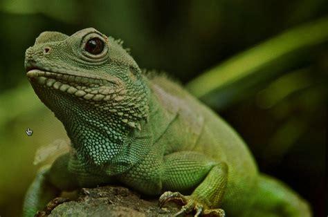lizard  mystery short story kings river life magazine