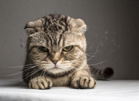 suddenly aggressive causes of sudden aggression in cats petmd