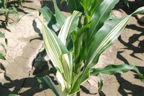 corn plant diseases early season corn diseases and non disease observations