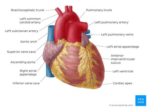 what color are arteries pulmonary arteries and veins anatomy and function kenhub