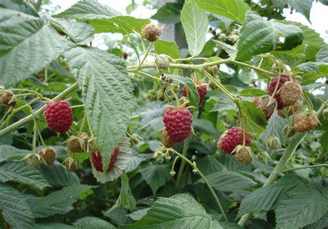 fiori di goji propriet come coltivare i frutti di bosco trendy tra i frutti di