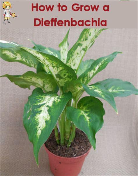 dieffenbachia how to grow dumb cane the gardening cook
