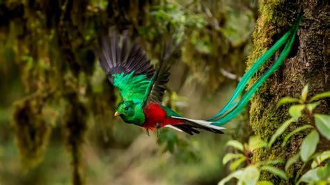 fotos de tatuajes de quetzales descubriendo la belleza del quetzal