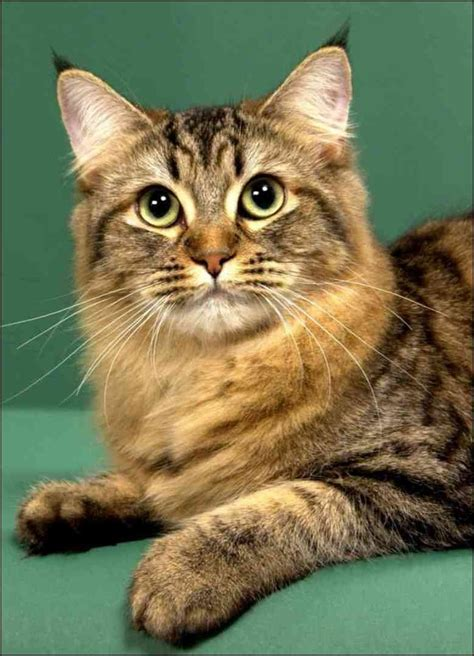 most affectionate breeds top 10 most affectionate cat breeds many