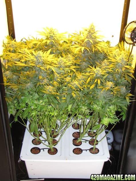 Closet Marijuana Grow by Closet Grow Box Any